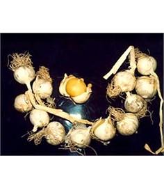 Nuovo tipo di aglio senza spicchi
